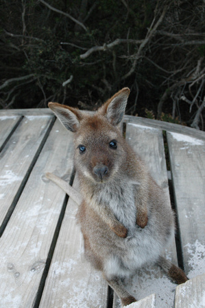 Baby Wallaby Begging