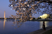 Cherry Blossoms at Dusk