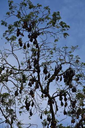 Bat Colony Sleeping in Tree 1