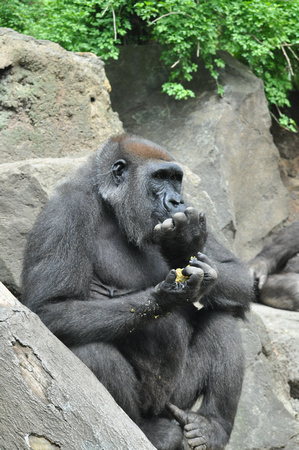 Gorilla Playing with Food 3