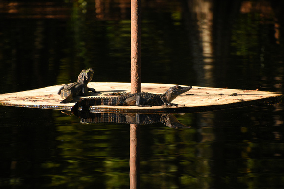 Baby Alligators Sunning on a Platform