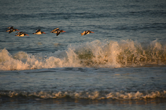 American Oystercatchers Flying Over Calm Sea 1
