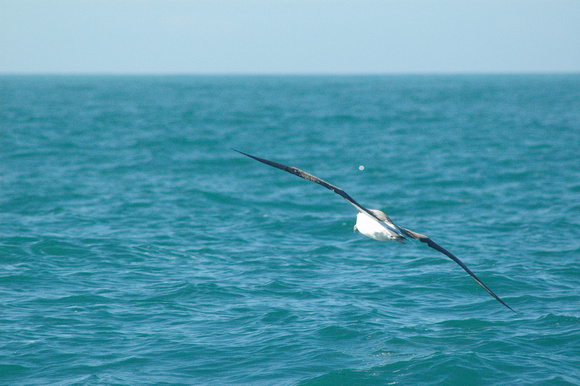 Albatross in Flight 1