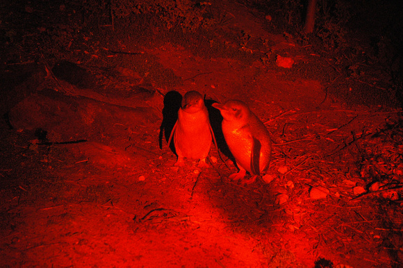 Penguins in Red Light