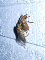 Cicada Invasion Brood X 2004