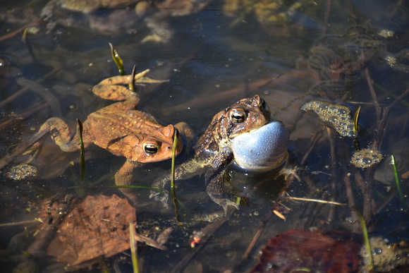 Brown Frog Croaking in Water - Other Frog Approaching