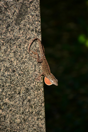 Lizard with Red Throat Display 1