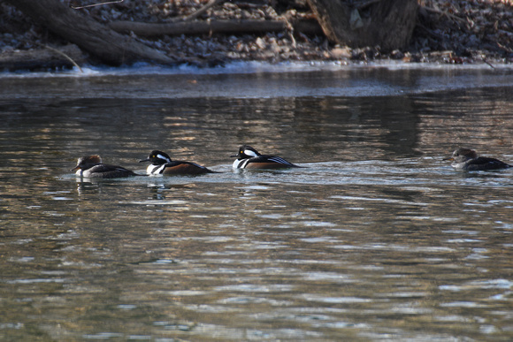 Hooded Merganser Ducks 3
