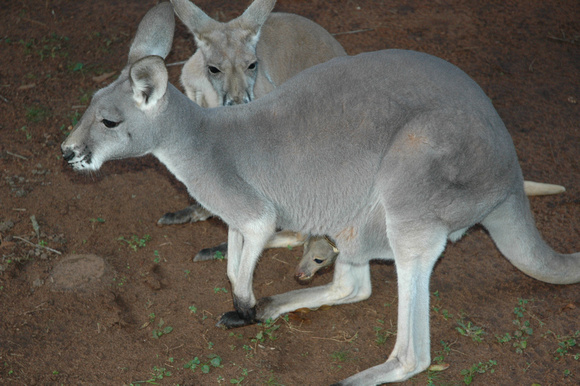 Kangaroo and Baby in Pouch 1