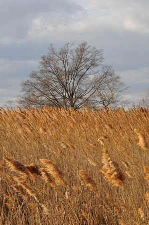 Yellow Grass and Leafless Tree 1