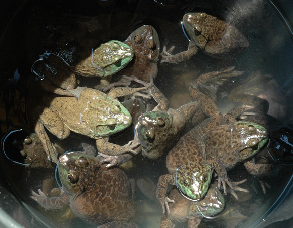 Live Frogs
