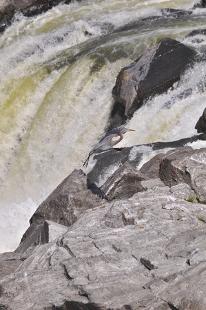 Heron Taking Flight in Front of Great Falls