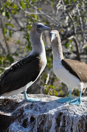 Blue-Footed Boobies 1