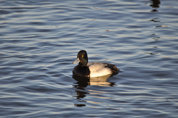 Scaup Duck 13