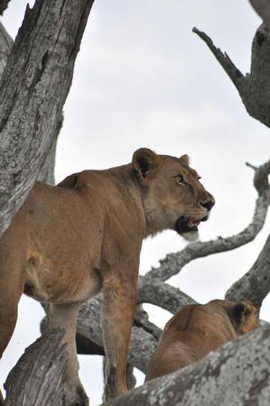 Lioness in Tree