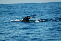 Coffs Harbour - Whale-Watching